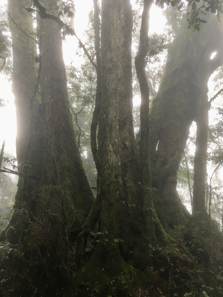 Ancient Antarctic Beech